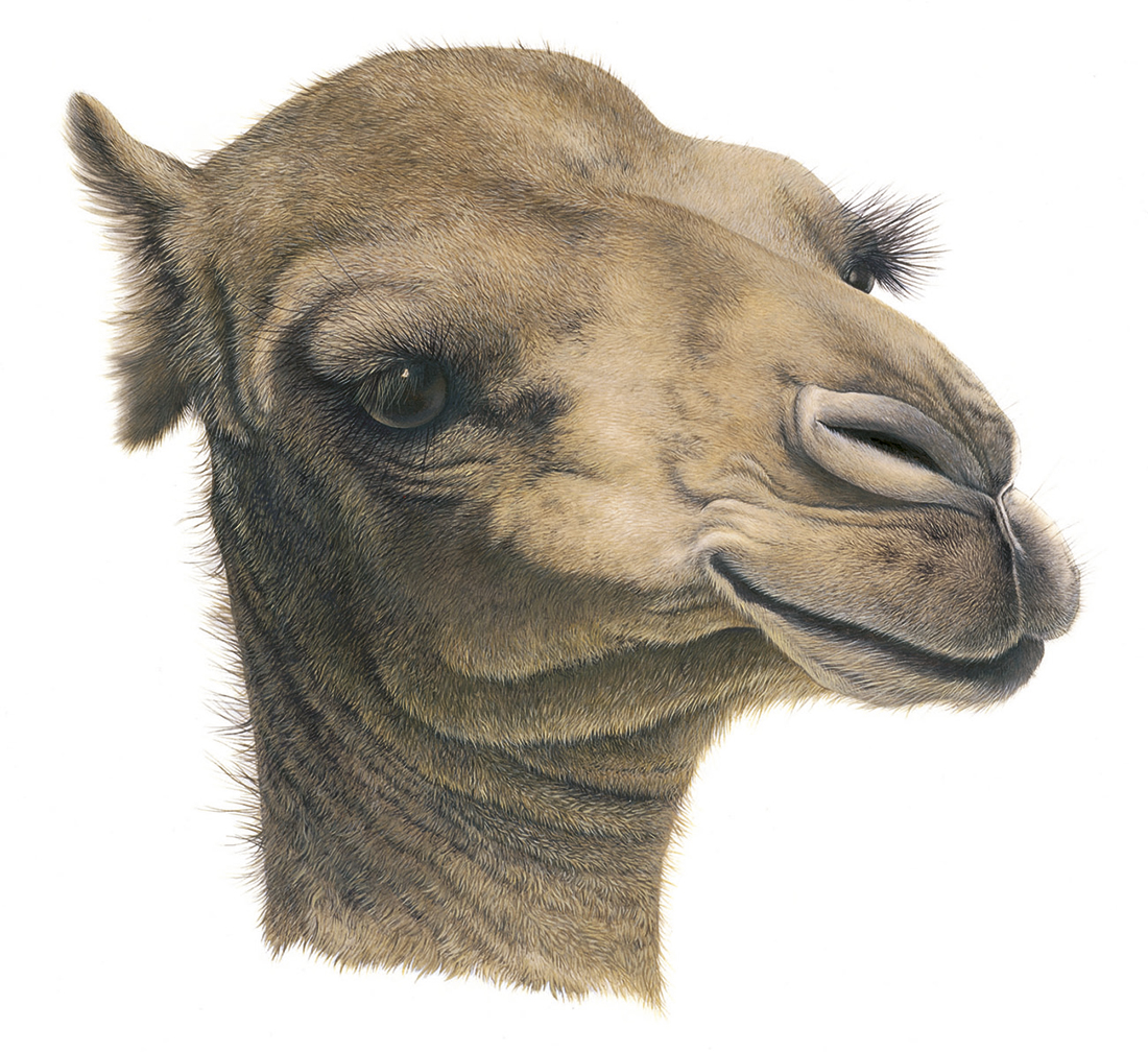 Camel_painting